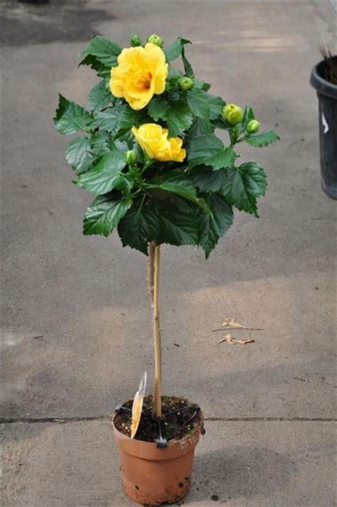 hibiskus zimmerpflanze kaufen chinarose hibiskus st 228 mmchen in gelb der palmenmann