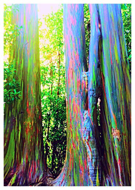 rainbow eucalyptus rainbow eucalyptus in hana maui hawaii the phenomenon