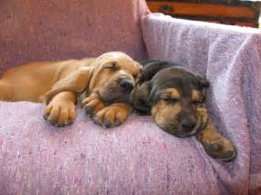 Bloodhound   Dawgies