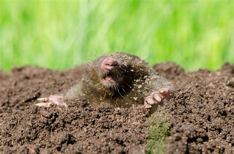 moles in backyard how to rid your yard of moles or voles or both wtop