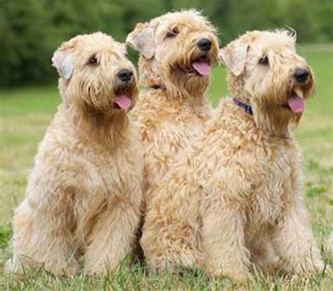 soft coated wheaten puppies breeds single looking for a companion dogs