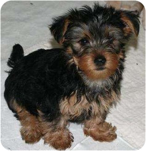 silky yorkie mix ames adopted puppy house springs mo silky terrier yorkie terrier mix
