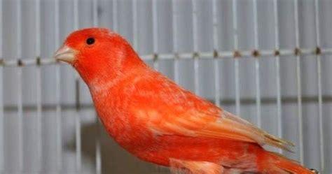 Harga Pakan Burung Pleci Import waspada kenari merah palsu banyak di pasaran