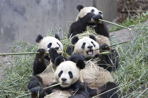 panda china encyclopedia of animal facts and pictures october 2011