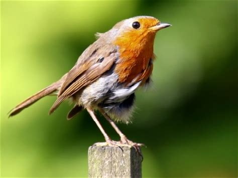 european robin information for kids