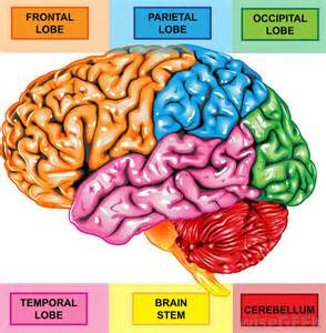 brain color what is the right frontal lobe with pictures
