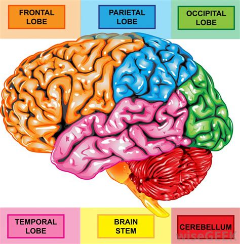 4 sections of the brain what is the right frontal lobe with pictures
