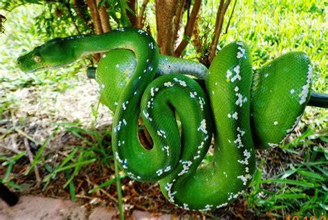 imagenes de serpientes verdes serpiente pit 243 n arbor 237 cola verde im 225 genes y fotos