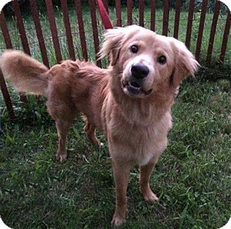 golden retriever puppies fort wayne fort wayne in golden retriever meet max a for adoption