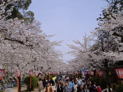 cherry blossom facts file tsuyama cherry blossom festival jpg wikimedia commons
