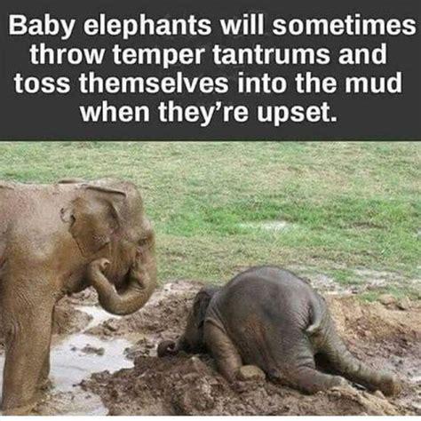 swissmiss   elephant tantrums