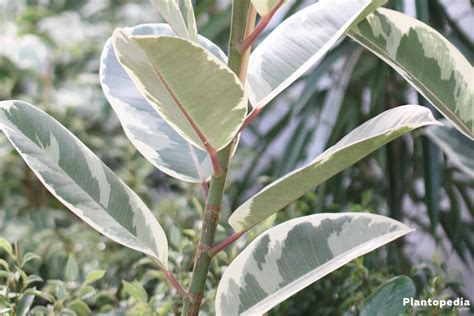ficus elastica rubber fig ficus elastica how to plant and grow indoors