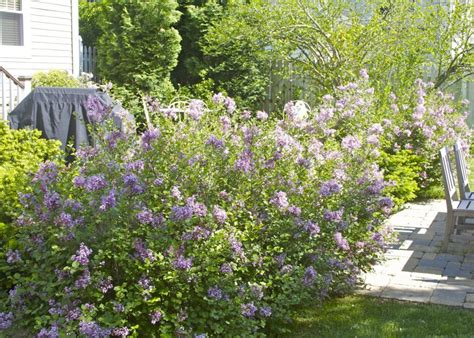 lilac skully and the carriage of lost souls books birthday blessings and lilacs
