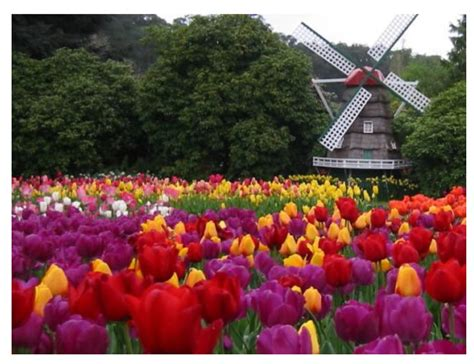 netherlands tulip fields tulip fields of northern netherlands amazing places