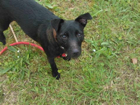 patterdale puppies patterdale terrier puppy dogs breeds picture