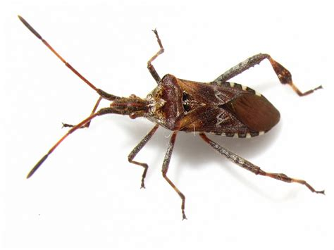 christmas tree bugs pictures bugblog on the western conifer seed bug and trees
