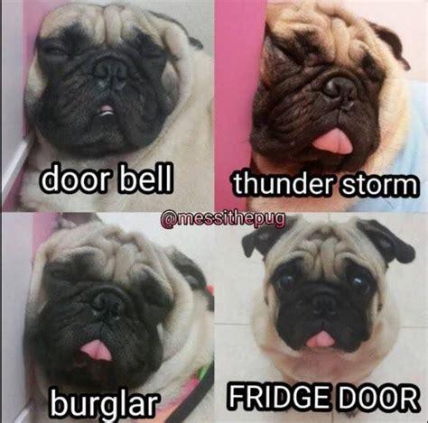 pug memes 25 best ideas about pug meme on pugs pug