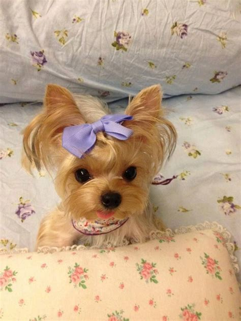 raising a teacup yorkie pin teacup yorkie yorkies we raise parti 43 on