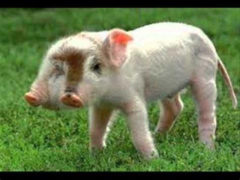 imagenes anormales reales animales raros cerdo de dos cabeza youtube