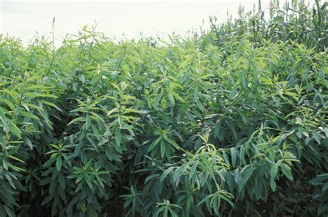 100 sun hemp seeds crotalaria juncea