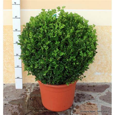 bosso in vaso bosso a sfera buxus microphylla faulkner vendita piante