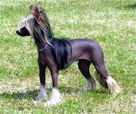 dogs that look like horses 17 best images about naakthond powder puff crested on the