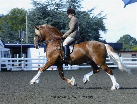 welsh section d dressage carneddau gerallt stallion ai services