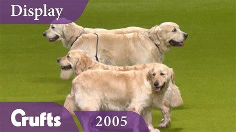 southern golden retrievers southern golden retriever display team performs at crufts 1funny
