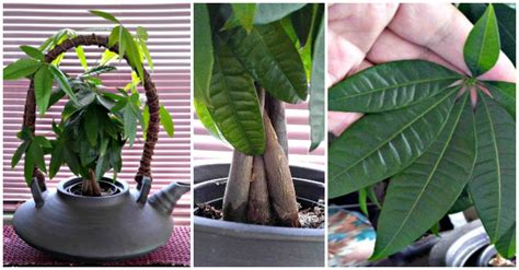 braided money tree plant  symbol  luck  prosperity