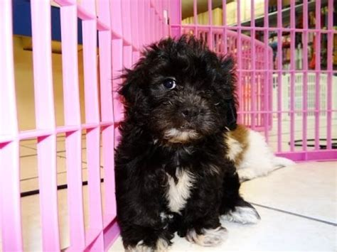 teddy puppies for sale in nc teddy puppies for sale in carolina nc clemmons