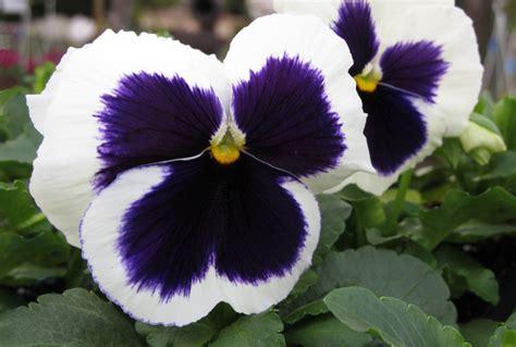 piante invernali con fiori 10 piante resistenti al freddo che fioriscono in inverno