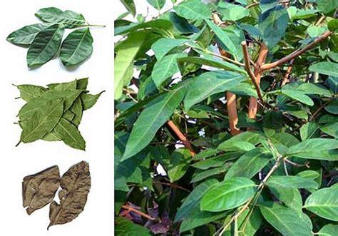 Khasiat Dasyat Dan Salam 5 khasiat daun salam yang wajib anda tahu agar tetap sehat