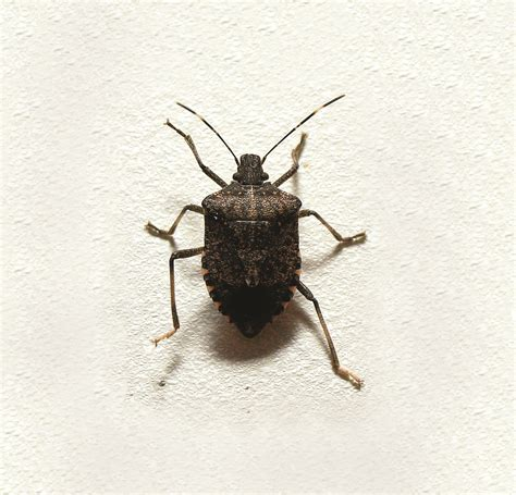 how to keep stink bugs out of your house how to keep stink bugs out of your house 28 images brown marmorated stink bug