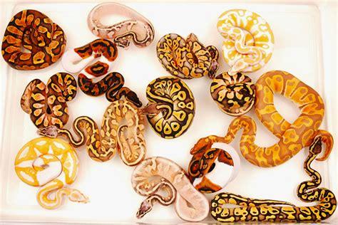 color morph python color morphs foto 2017