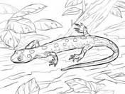 tiger salamander coloring page salamander coloring pages free coloring pages