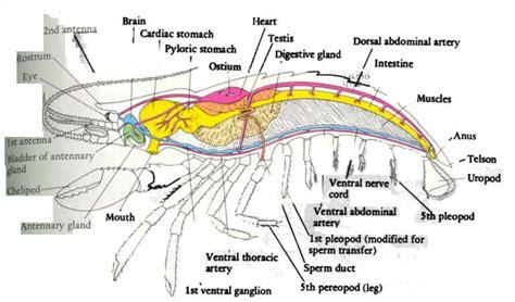 diagram of crayfish diagrams