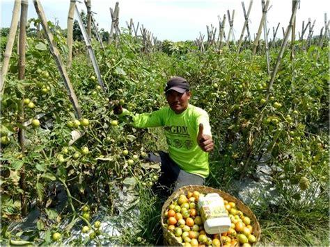 cara menanam tomat agar berbuah lebat dan cepat telah terbukti