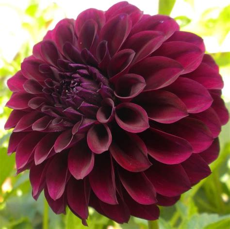 dahlia deep space deep plum in colour and full bodied this variety is sure to standout long