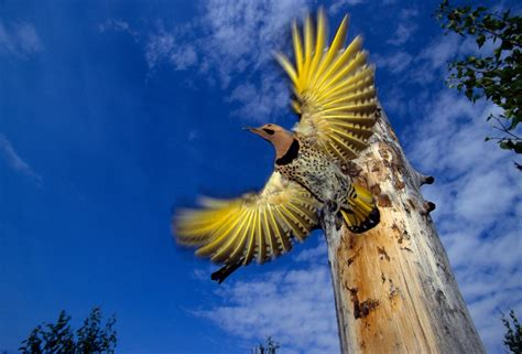 yellow birds mysteriously turn red