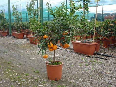 piante da frutto in vaso prezzi vendita alberi da frutto alberi da frutto alberi da
