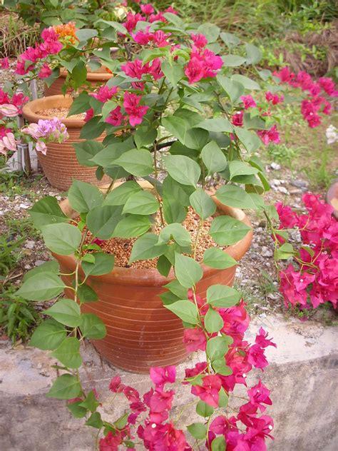 Tanaman Bunga Bougenvile Ungu diari diela warna warni bunga bougenvile