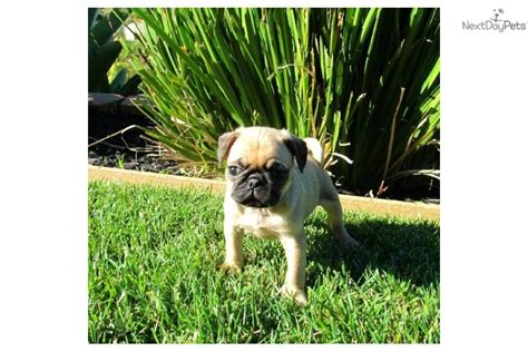 san diego pug tiny akc frenchie puppy for sale san diego in escondido breeds picture