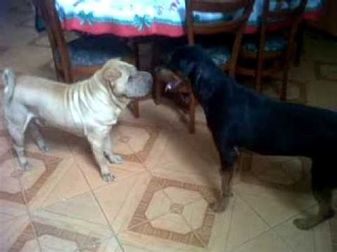 shar pei rottweiler sharpei vs rottweiler doovi