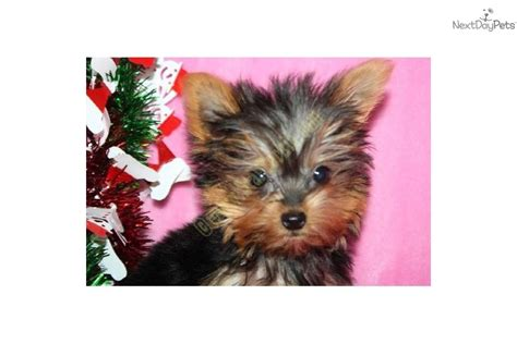 smallest teacup yorkie in the world smallest yorkie puppy in the world the dorkie dach yorkie mix puppy breeds