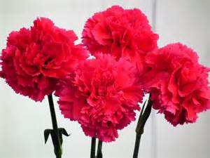 carnation gallery for gt red carnations wallpaper