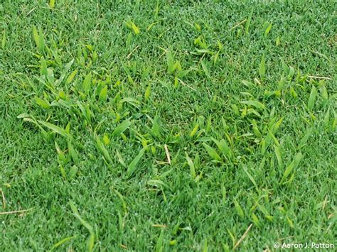 purdue turf tips weed of the month for april 2015 is smooth crabgrass