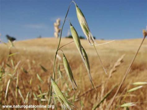 oat fiori di bach cosa fare della propria vita un aiuto da oat