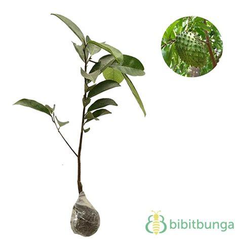 Bibit Pohon Sirsak Madu harga tanaman buah dalam pot non tabulot lengkap