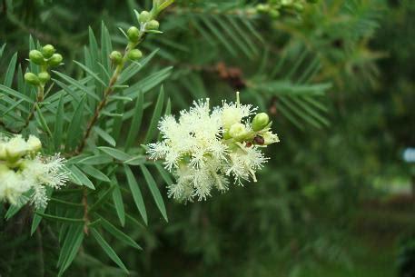 Minyak Kayu Putih Hijau Biru kayu putih ciri ciri tanaman serta khasiat dan