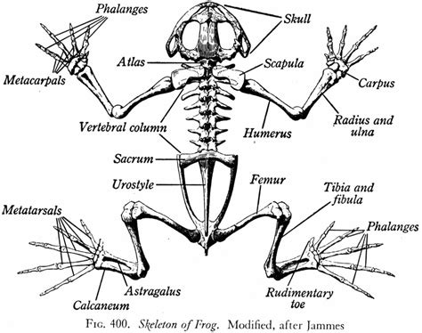 dorsal muscles of a frog dorsal muscles parts of a frog image